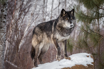 Wall Mural - Black Phase Grey Wolf (Canis lupus) Stands on Rock Paw Up Winter