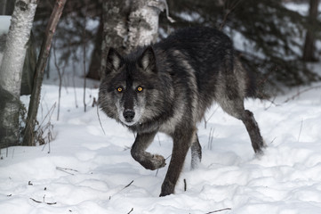 Wall Mural - Black Phase Grey Wolf (Canis lupus) Steps Forward Staring Straight Out Winter