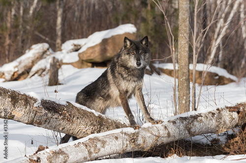Wall mural Black Phase Grey Wolf (Canis lupus) Paws Up on Log Winter