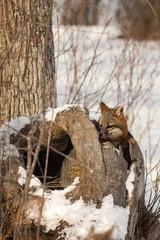 Wall Mural - Grey Fox (Urocyon cinereoargenteus) Sits In Log Ears Back Winter