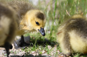 Fototapete - Newborn Gosling Learning to Search for Food
