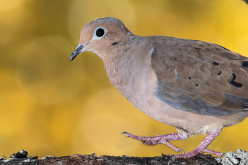 Wall Mural - Mourning Dove Perched on an Autumn Branch