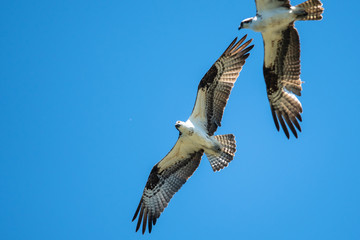 Wall Mural - Pair of Osprey Flying in a Blue Sky