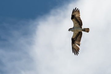 Wall Mural - Lone Osprey Flying in a Cloudy Blue Sky