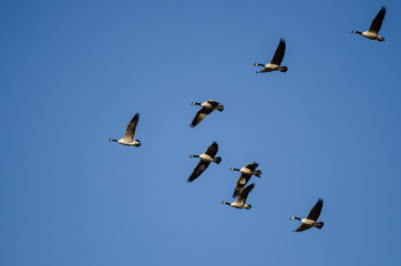 Wall Mural - Flock of Canada Geese Flying in a Blue Sky