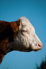 Wall Mural - Hereford cow portrait close up, profile view.  Beef cattle agriculture isolated on vertical sky background.