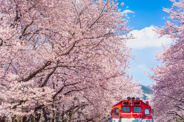 Wall Mural - Cherry blossom in spring in Korea is the popular viewing spot, jinhae South Korea.