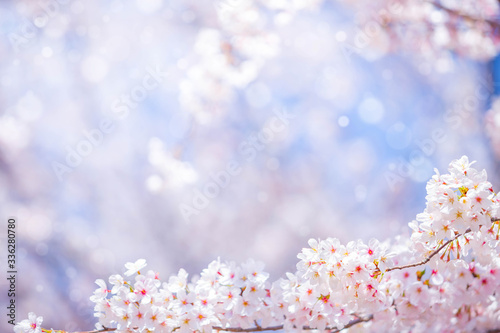 Wall mural Cherry blossom  flower in spring for background or copy space for text