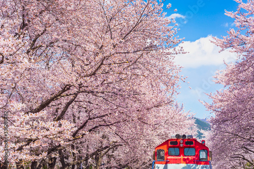Wall mural Cherry blossom in spring in Korea is the popular viewing spot, jinhae South Korea.