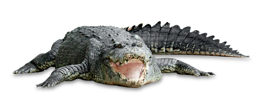 old crocodile isolated on white background ,include clipping path