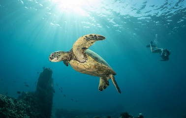 Green sea turtle hovers on the west side of maui and comes up or a breath over a sunken pier
