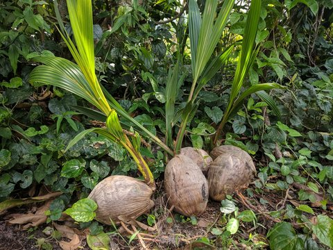 Sprouted Coconuts  (Cocos nucifera) on the ground with forest background