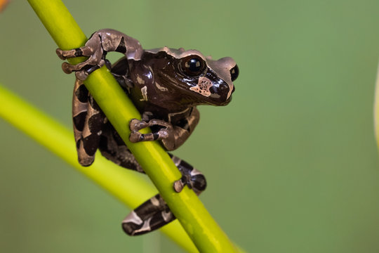 Crowned tree frog on a plant in front of a green background