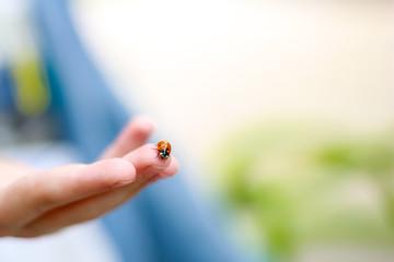 Fototapeta Red ladybug sitting on child hands. Child taking little ladybug with care. caring for nature concept. obraz