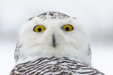 Wall Mural - Snowy owl