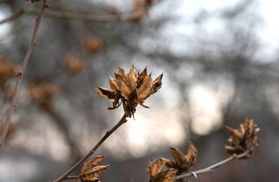 Dry hibiscus buds on a tree. Alternative medicine