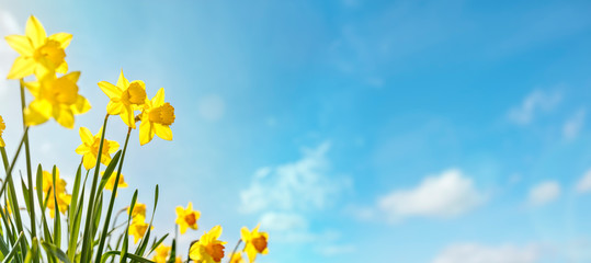 Spoed Fotobehang Narcis Spring flower background Daffodils against a clear blue sky