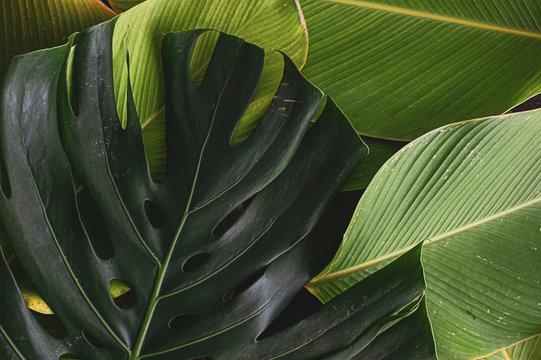 monstera leaf with banana like leaf texture. calathea luthea cigar calathea. dark tropical green leaves palm background.