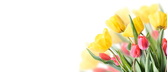 Photo sur Plexiglas Fleuriste Closeup of tulip bouquet in garden isolated on white background. Creative spring flower bud frame. Easter, mother's day and seasonal holiday spring banner.