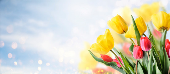 Closeup of tulip bouquet in garden with bokeh background. Creative spring flower bud frame. Easter, mother's day and seasonal holiday spring banner.