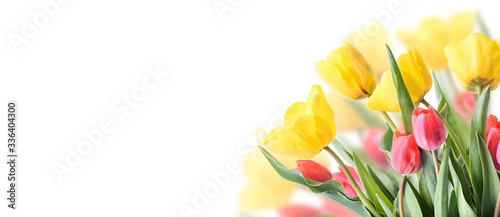 Closeup of tulip bouquet in garden isolated on white background. Creative spring flower bud frame. Easter, mother's day and seasonal holiday spring banner.