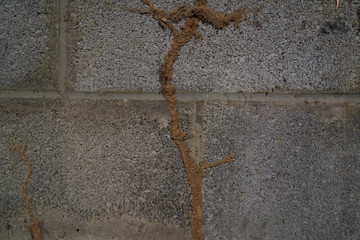 Termite mud tubes on a concrete wal