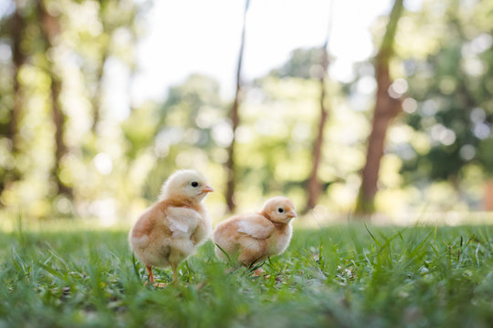 Two Baby Free Range Chicks Outside in the Grass with a Trees, Bokeh in Background, and Room for Text