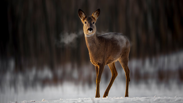 Roe with morning light and breath smoke