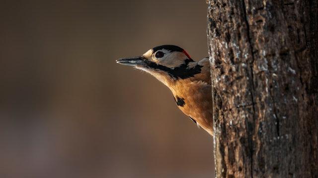 great spotted woodpecker Hide