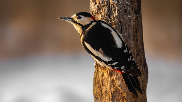 great spotted woodpecker Full