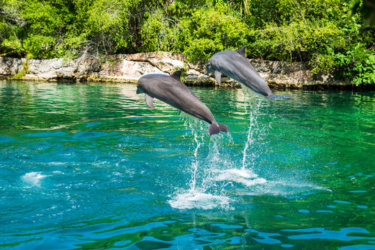 """Couple of dolphins jumping in the salt water of a natural park called """"Xel-Ha"""" along the """"Riviera Maya"""" (Cancùn, Mexico)."""