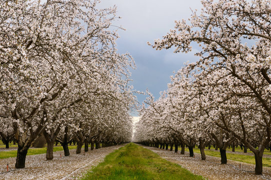 Flowering almond tree grove blossoms in California