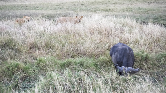 lions stalking an african buffalo at masai mara in kenya
