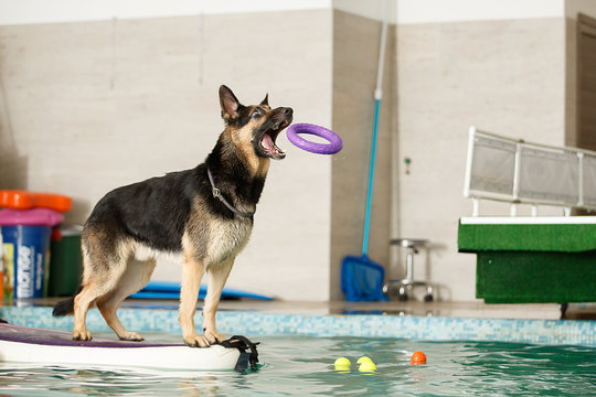 The dog stands and jumps with a toy in the pool. Sports training of dogs.
