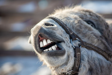 the funny grey donkey smiles and shows his white clean teeth as if he had been to the dentist
