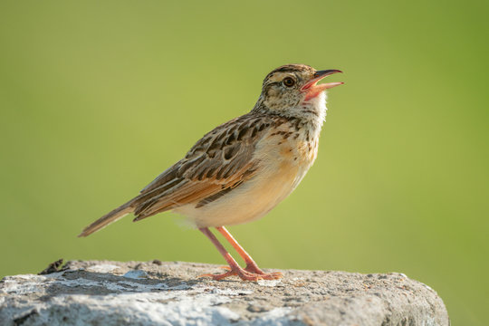 Rufous-naped lark sings on post facing right