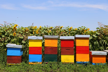 Garden Poster Culture Row of colorful wooden beehives with sunflowers in the background