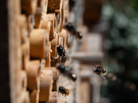 Mason bees at an insect hotel in spring