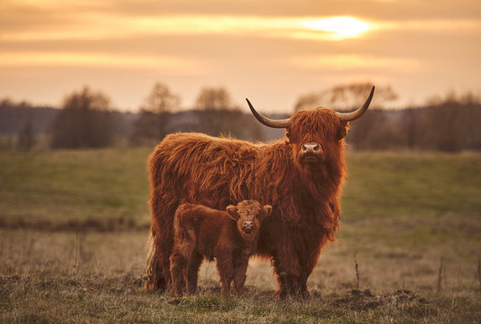 Highland cow and calf. Sunset over the pasture