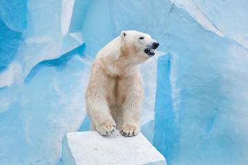 Deurstickers Ijsbeer big polar bear in the Novosibirsk zoo