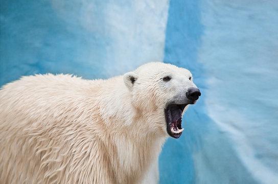 big polar bear roaring in Novosibirsk zoo