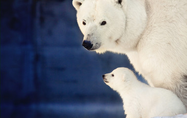 Little polar bear cub with big bear