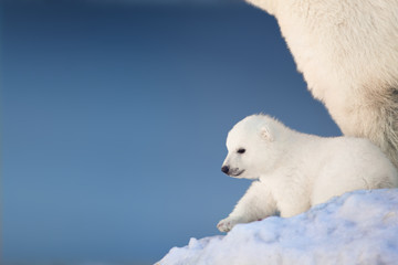 Poster Ours Blanc Little polar bear cub in snow