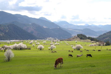 Aluminium Prints Cow cow grazing in green meadow.artvin/turkey