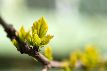 Fototapeta Young grape leaves in spring time