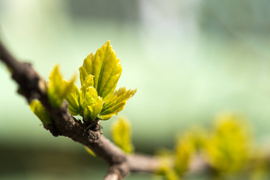 Young grape leaves in spring time