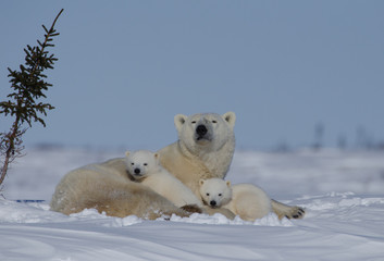 Polar bear mother with two young cubs