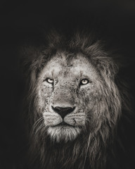 Aluminium Prints Lion King