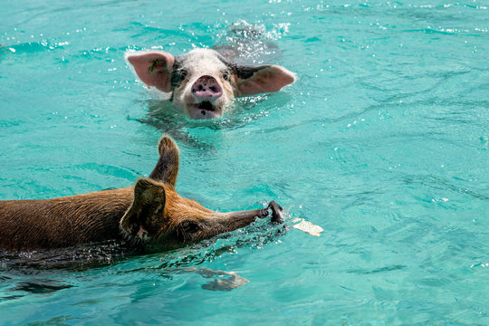 The famous feral swimming pigs of Bahamas living in an uninhabited island called Big Major Cay (better known as Pig island or Pig  beach).