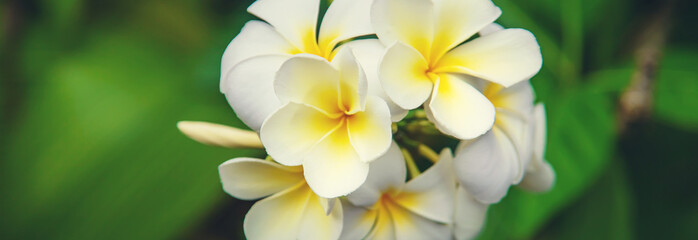 Beautiful white plumeria flowers on a tree. Selective focus. Fotomurales